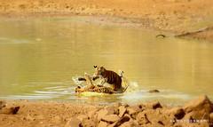 Pandharpauni Cubs (S u m a n G o s w a m i) Tags: wildlife tiger cubs indiantiger savetiger nikond7000 wildlifetourismindia