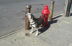2016-04-15_10-20-59 (clarisel) Tags: newyorkcity red dog by hydrant photo bronx c clarisel gonzalez 2016