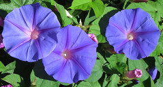 morning glories 1 (lisafree54) Tags: blue plant flower nature violet lavender free morningglory cco freephotos