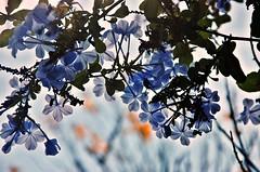 Cielo de flores (Aprehendiz-Ana La) Tags: flowers flores luz argentina azul contraluz nikon bokeh paz cielo serene leve jardn frgil jazmn fotografa transparencia enredadera ramilletes aprehendiz analialarroud filick