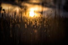 Shallow Depth of Field - Sunset Grass (ThomasG.) Tags: nature nikon dof shallow d600 nikkorafd85mmf14