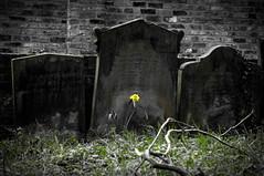 TheOldDeadOfYork(GT) (Clive Varley) Tags: york old cemetery central selectivecolour nikond90 gimp2814partha