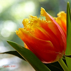 Tulp- Tulip (Cajaflez) Tags: spring colorfull ngc npc tulip printemps tulp voorjaar fruhling kleurig fabuleuse bolbloem