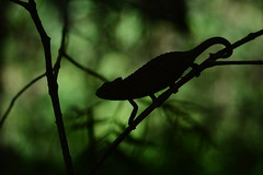 (Leela Channer) Tags: black green nature animal silhouette female landscape photo kenya bokeh branches twigs chameleon baringo kabarnet tugenhills sidestripedchameleon