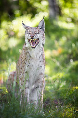 That was a funny joke (nemi1968) Tags: portrait face closeup cat canon bokeh teeth yawn grin laughter lynx gaupe langedrag markiii catfamily eurasianlynx specanimal canon5dmarkiii ef70200mmf28lisiiusm eartufs