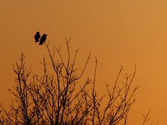 Jackdaws at Sunset (ukstormchaser (A.k.a The Bug Whisperer)) Tags: uk trees tree bird birds animal animals way evening wildlife north april perched crow milton keynes crows bucks corvid jackdaw jackdaws