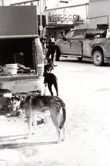 Voigtlander Vito II Sled Dog Race 2 () Tags: winter dog snow alaska race fur sale sled fairbanks trapper 2014
