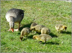 Mother Goose .. (** Janets Photos **) Tags: uk nature geese goslings hull naturereserves bransholme