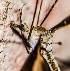 Tipula oleracea - 105mm macro (ben.scalf) Tags: ohio nature bug fly nikon crane cincinnati wildlife science micro dslr common biology tipula oleracea d3200