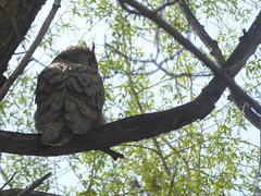 Diesjhrige Eulen (Balkonesin) Tags: owls gunbarrel