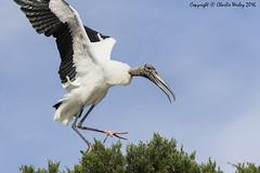 Ops. (wesjr50) Tags: animals canon flash ii 7d birdsinflight beamer better mk avian rookery nests woodstork breedingplumage wadingbirds naturewildlife canonef100400mmf4556iszoom