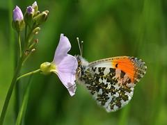 Anthocaris cardamines (Tim Worfolk) Tags: butterfly cuckooflower anthocariscardamines orangetip sidbury pieridae