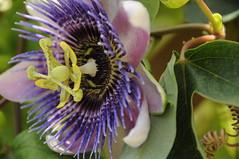 passiflora (aprille s) Tags: purple florida passiflora passionflower pompanobeach butterflyworld 2016 aprilles