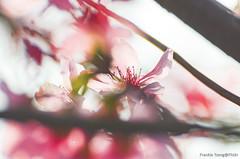 DSC_8563 (Frankie Tseng ()) Tags: park pink flowers sunset sky bw flower silhouette photography 50mm blackwhite nikon outdoor flash sunny tokina cherryblossoms fade nikkor 70300mm tamron 90mm f8 1224mm f28 f4 1870mm bwphotography blackwhitephotography portraitphotography outdoorportrait sb900 yongnuo outdoorportraitphotography yn568