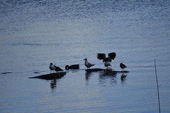 Anglers Country Park (410) (rs1979) Tags: yorkshire lapwing wakefield walton westyorkshire blackheadedgull blackheadedgulls lapwings ryhill wintersett anglerscountrypark
