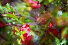 Pigwowiec (kinga.lubawa) Tags: pink colors canon kwiaty kwiat kolory kolorowe pigwowiec canon6d