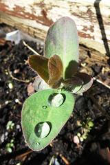 Morning Rain (Jon Pinder) Tags: flowers plants water rain canon garden drops powershot s100