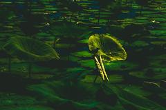 IMG_6776 (gaujourfrancoise) Tags: green australia vert waterlilies downunder australie gaujour