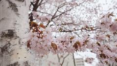 DSCF9348 () Tags: pink  sakura