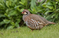 Red Legged Partridge (boogie1670) Tags: red birds canon wildlife sigma british partridge legged contempory 150600mm canon7dmarkii