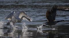 The chase (Chris Bainbridge1) Tags: canada goose muteswan cygnusolor canadensis branta