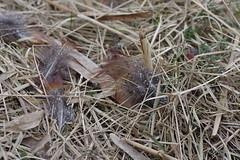 Spillern (Harald Reichmann) Tags: natur gras muster niedersterreich vogel schilf zeichnung feder opfer heidfeld beute fasan spillern