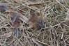 Spillern (Harald Reichmann) Tags: natur gras muster niederösterreich vogel schilf zeichnung feder opfer heidfeld beute fasan spillern
