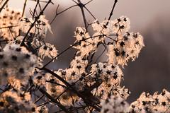 13/365 winter light (simo m.) Tags: winter cold flower project 365 fiori progetto