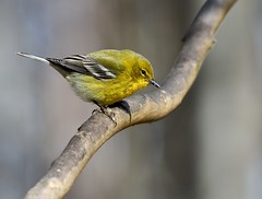 Pine warbler (male) (Mary Sonis) Tags: