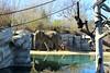 Elephant Passage Photo Bomb (Patricia Henschen) Tags: elephant zoo colorado denver denverzoo citypark denvercolorado whitecheekedgibbon elephantpassage