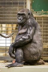 2016-01-01-12h02m22.BL7R6059 (A.J. Haverkamp) Tags: germany zoo gorilla muenster nordrheinwestfalen mnster munster dierentuin changa demba westelijkelaaglandgorilla canonef70200mmf28lisusmlens pobfrankfurtgermany dob09061996 httpwwwallwetterzoode pobmnstergermany dob13012013 changamadi