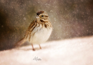 Song Sparrow Artistic