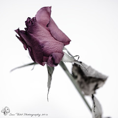 Day 13 of 366 - Dead Rose (Sue_Todd) Tags: pink stilllife flower rose dead desaturation 366 13366 366project desaturatedrose 3662016