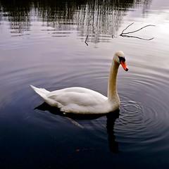 Oxford (abrossler) Tags: road family winter lake tree bird water countryside sticks swan walk oxford twigs wellys birdwinter