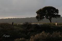 il gregge (Tonpiga) Tags: pecore gregge tonpiga