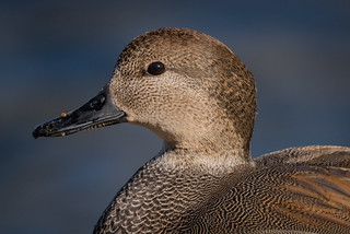 Gadwall, Cumberland County, PA [Explore 14 January 2016]