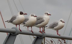 Blackheaded Gulls at Granton Harbour (Steve Marlow) Tags: sea harbour gulls
