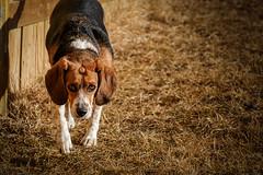 June-29JAN16-2 (Adam Fallwell) Tags: dog pet beagle animal june outside