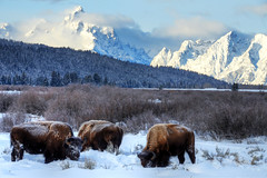 Teton Bison (jesseandteresa) Tags: winter snow grandtetonnationalpark