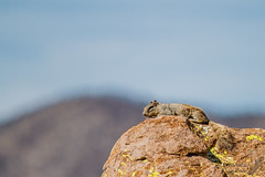 Rock squirrel without a care in the world (Squirrel Girl cbk) Tags: arizona march sunbathing 2012 rocksquirrel baskinginthesun chiricahuanationalmonument otospermophilusvariegatus