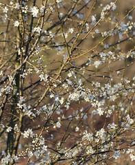 Prunellier (Prunus spinosa) (photoposie) Tags: spinosa rosaceprunus