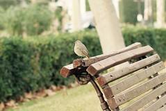 Phoenicurus ochruros (femella de cotxa fumada) (Snia Pereda) Tags: barcelona city nature birds pjaros ocells parcdemontjuc