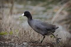 SanJoaquinWildlife-21 (rskim119) Tags: ca lake black bird animal walking landscape duck pond nikon san wildlife joaquin marsh tamron preserve sanctuary irvine rancho refuge 70300 irwd d3300