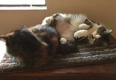 Jade and Mina Relaxing (Philosopher Queen) Tags: cats silly chats fluffy gatos mina jade kitties