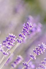 Purple breeze (nemi1968) Tags: flowers flower macro closeup canon purple bokeh ngc lilac npc markiii ef100mm macro100mm canon5dmarkiii ef100mmf28lmacroisusm