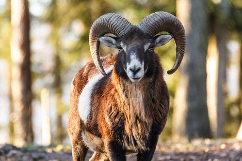 Muffel Widder