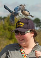 IMG_4046 (Bill Jelen) Tags: hat birding scrubjay rockledge birdonhat