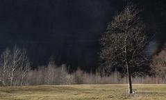 rami su rami (Alata) Tags: mountain tree green piemonte albero ramo montagna valsesia