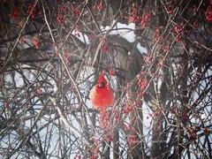 Cardinal visiting (Diana Lynn2) Tags: red nature berries cardinal