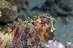 Cyan octopus - Octopus cyanea